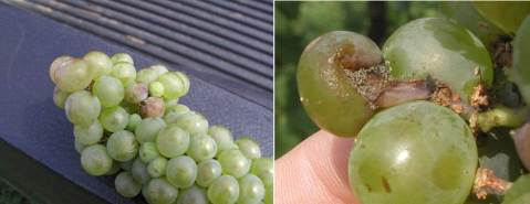 Figure 1. Botrytis cinerea sporulating on damaged grapes of Vitis interspecific hybrid 'Vignoles'. Such damage often occurs as a result of berry overcrowding in overly compact clusters. The damage leaves fruit open to colonization by the ever present Botrytis fungus and by many other fruit rot organisms.