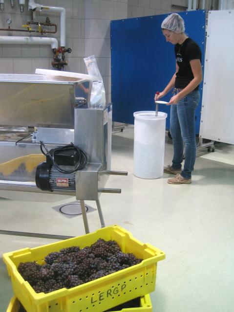 Figure 1: Preparing a small solution of acidulate sulfur dioxide to sanitize processing equipment before crushing/destemming and pressing operations. Photo by: Denise M. Gardner