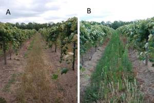 Figure 1: Side by side cover crop trial in a commercial vineyard showing cover crop suppression of Horseweed (Marestail) pressure. Image B is the control and shows significant Horseweed (Marestail) pressure. Photos by Luke Haggerty, LERGP