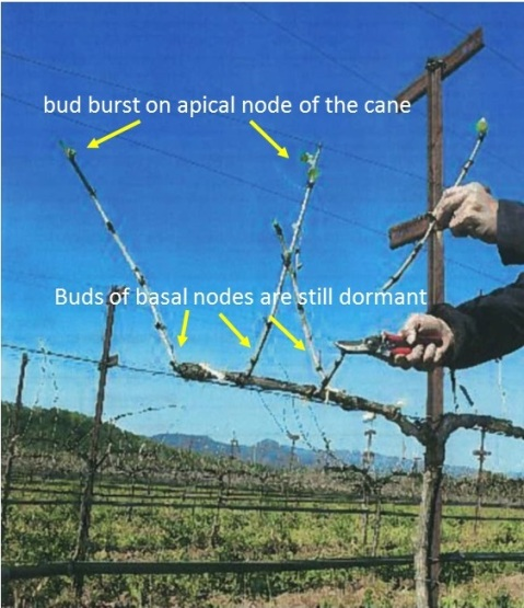 Figure1. Spur pruning vines while the apical buds are bursting. Photo source: McGourty, The case for double—pruning. Practical Winery &Vineyard.