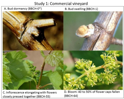 Figure 2. Phenological growth stages of the apical shoot at the time vines were pruned to 2-node spurs. *BBCH scale was used to assess phenological stages [9] in studies described below.