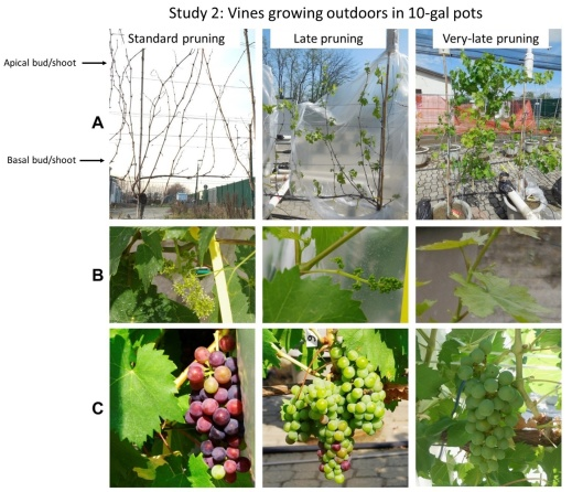 Figure 3. Vine appearance at the time of pruning (A) and at bloom (B) and veraison (C). Note: standard winter pruning was taken as a reference for bloom and veraison. Photo courtesy Dr. Stefano Poni (professor of Viticulture, Universita' Cattolica del Sacro Cuore, Italy).