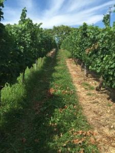 Figure 2: Under vine cover crops in a commercial vineyard. Photo by Suzanne Fleishman, a previous graduate student that worked with Dr. Michela Centinari