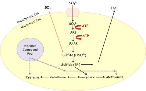 Figure 1: A simplified version of the sulfate reduction pathway.