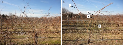 Figure 2A & B. A before-and-after photographical comparison, showing a vigorous vine before pruning (A) and the same vine following pruning (B), in which 4 canes are left instead of 2 in order to better regulate and take advantage of the vine's vigor.