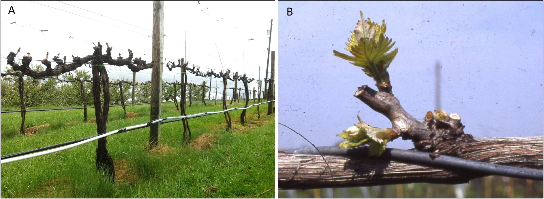 A Pruning Primer Penn State Extension Wine Grapes U