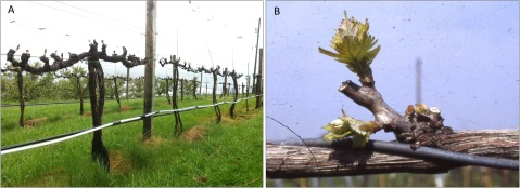 Figure 3. Spur-pruned vines. A) Cabernet Sauvignon vines with equally spaced, fruitful 2-bud spurs at the Alson H. Smith AREC, Virginia Tech. University. B) A two-bud spur. Photo credit: C. Intrieri.