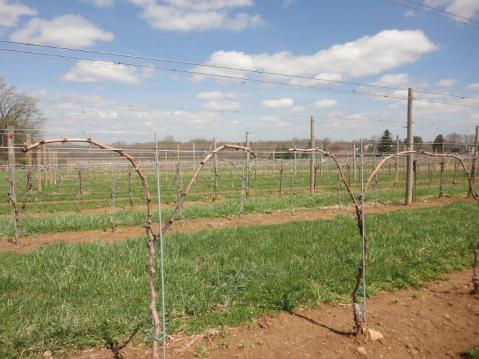 Figure 4. Bilateral, cane-pruned vines that each have two canes tied down to the trellis wire. Photo taken at a commercial vineyard in Pennsylvania.