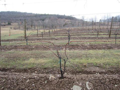 Figure 5. Another example of cane pruning to 4 canes to accommodate vigorous vegetative growth. Photo taken at a commercial vineyard in Pennsylvania.