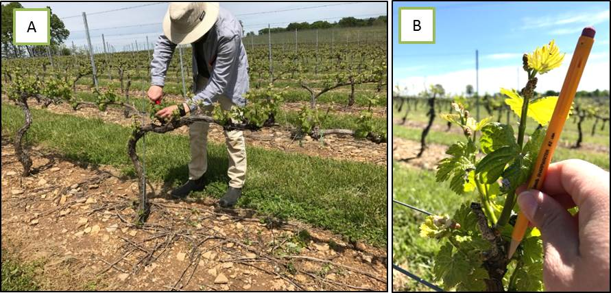 A Andrew Harner Graduate Student At Penn State In The Centinari Lab Is Shoot Thinning Grner Veltliner V Vinifera Vines May 10 2017 Lewisburg PA