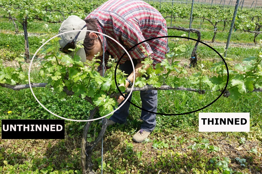 Figure 3. Suzanne Fleishman graduate student at Penn State in the Centinari lab is shoot thinning spur-pruned Grüner Veltliner vines (May 26 2016). & Early season grapevine canopy management Part I: Shoot thinning ...
