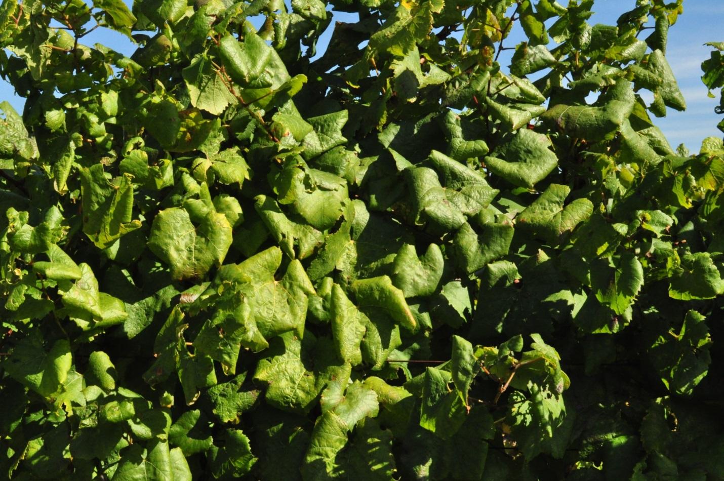 viticulture wine u0026 grapes u